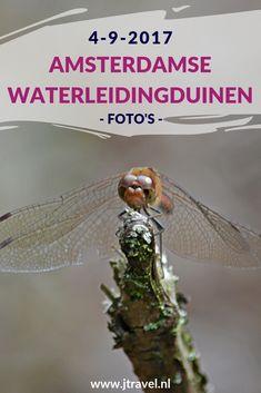 Op 4 september 2017 maakte ik een wandeling in de Amsterdamse Waterleidingduinen. Ik liep vanaf de ingang Panneland en ging opnieuw op zoek naar vossen. Ik heb deze dag verschillende vossen, veel damherten en libelles gespot en genoot van de schitterende natuur. Kijk je mee wat ik allemaal zag? #awd #amsterdamsewaterleidingduinen #vos #vossen #damherten #wandelen #hiken #natuur #jtravel #jtravelblog #fotos