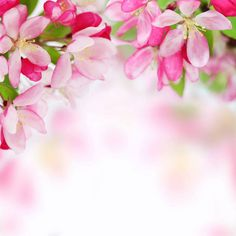 Fresh, pink, soft spring apple tree blossoms on white background. Very shallow DOF. Apple Tree Blossoms, Blossom Trees, Flower Images, Flower Frame, Flower Wallpaper, Color Patterns, Vivid Colors, Beautiful Flowers, Clip Art