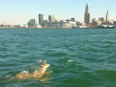 Viewer Ralph Stock snapped this photo of a deer swimming about yards off the Lake Erie shoreline in Cleveland on Thursday, Oct. Exhausted + cold, but the deer made it to shore. Cleveland Ohio, Cleveland Rocks, Capture Photo, Lake Erie, Lake Michigan, Great Lakes, New York Skyline, Nature Photography, Swimming