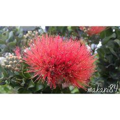 Native Hawaiian Plants (@native_hawaiian_plants) • Instagram photos and videos Hawaiian Plants, Nativity, Photo And Video, Videos, Photos, Instagram, Pictures, The Nativity, Birth