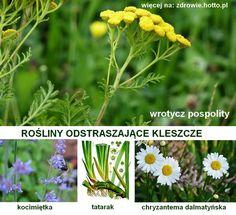 zdrowie.hotto.pl-rosliny-odstraszajace-kleszcze