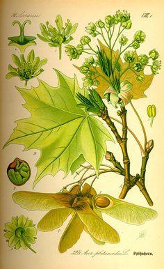 Acer platanoides: Flora von Deutschland Österreich und der Schweiz (1885)