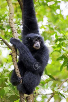 25295366-Siamang-Gibbon-hanging-in-the-trees-in-Malaysia-Stock-Photo.jpg (866×1300)