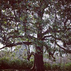2 century old magnolia tree.
