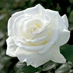 Sugar Moon™ Rose — Green Acres Nursery & Supply White Roses, White Flowers, Beautiful Flowers, Plants, Flowers, Places, Nature, Plant, Planets