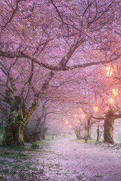 """tulipnight: """" Sakura by Daniel Kordan """""""
