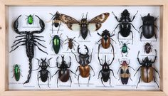 Insect Beetle Collection , taxidermy exotic insects and bugs to display at home, shadow box frame with wall hanging hook www.bugsdirect.com