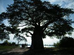 a Baobab tree on the edge of Lake Malawi (i am pretty sure this is the tree i saw in malawi @ Mvuu game park!)
