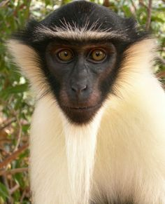 """The Roloway monkey is among the most threatened primates on the African continent, although exact figures for the species are not available. Recent surveys could not find evidence of it in Ghana's Bia National Park, where it was probably eliminated between mid 1970s and 1990. There are estimates are that there probably has been a population decline of at least 80% over the last three generations. The species is listed as one of """"The World's 25 Most Endangered Primates."""""""