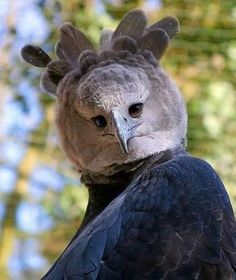 The Harpy Eagle, Named After A Monster In Greek Mythology 🦅 Harpy Eagles are considered to be one of the world's largest eagles. This eagle has hind talons that can be as large as those of a grizzly bear. Pretty Birds, Beautiful Birds, Animals Beautiful, Beautiful Pictures, Exotic Birds, Colorful Birds, Tropical Birds, Rare Animals, Animals And Pets
