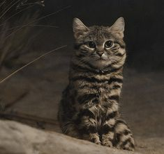 """The black-footed cat is the smallest wild cat in South Africa. The cat is listed as Vulnerable on the IUCN Red List of Threatened Species. In some parts, the cat is referred to as the """"anthill tiger"""" due to its fierce nature when cornered. Cutest Animals On Earth, Cute Wild Animals, Animals And Pets, Small Animals, Adorable Animals, Small Wild Cats, Small Cat, Baby Kittens, Cats And Kittens"""