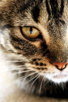 Big brown tabby cat.