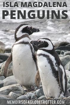 Isla Magdalena is the best day trip from Punta Arenas, Chile. Isla Magdalena is home to a large colony of Magellanic penguins. Colombia Travel, Brazil Travel, Argentina Travel, Peru Travel, Europe Destinations, South America Destinations, South America Travel, North America, Machu Picchu