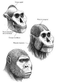 Kingdom : Animalia / Phylum : Chordata / Class : Mammalia / Order : Primates / Family : Hominidae / Genus : Paranthropus / Species : P. Homo Habilis, Forensic Facial Reconstruction, Human Fossils, Skeleton Drawings, Prehistoric Creatures, Prehistoric Man, Early Humans, Human Evolution, Black Skulls