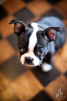 Kat-Ku-Photography_Boston-Terrier-Puppy05.jpg 665×1,000 pixels