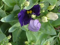 The Foliage of a Lisianthus Plant with Purple Buds Opening