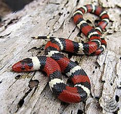 """Scarlet king snake. Not sure if it's dangerous? Remember this rhyme: """"Red on black, venom lack. Red on yellow, kill a fellow."""""""