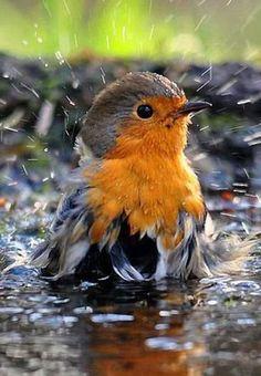 ♔ European Robin