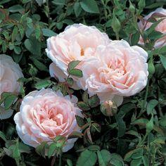 'Lochinvar' |  Shrub.  English Rose Collection. David C. H. Austin, 2005