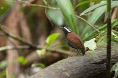 Chupa-dente-grande (Conopophaga melanogaster)