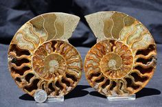 FREE USA Shipping Cut Split Pair Ammonite by Paulstaberminerals, $79.99