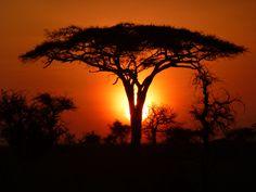 Acacia en Tanzania