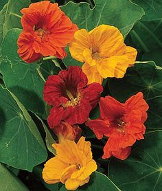 """Nasturtium, Double Dwarf Jewel Mix  HEIRLOOM. Superb for bedding or containers.  An abundance of 2-3"""" double spurred flowers bloom in a harmony of color. Superb for bedding or containers."""