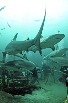 sharks. These look like Thresher Sharks - so beautiful