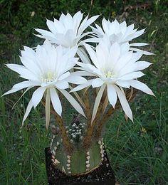 Echinopsis subdenudata                                                                                                                                                                                 More