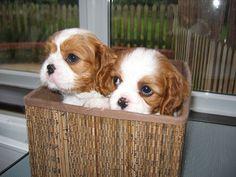 So cute! Cavalier King Charles spaniel puppies
