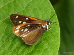 https://flic.kr/p/STjQ9K | Skipper, Hesperiidae | from Ecuador: www.flickr.com/andreaskay/albums