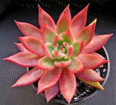 Echeveria agavoides 'Lipstick' :: Perfectly formed rosettes to 20cm wide of thick pointed pale to bright green leaves edged in vivid red. Turns pink when grown in the sun. Pink/red cup-shaped flowers in summer.