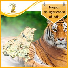 Nagpur: The Tiger capital of India With numerous wildlife sanctuaries and national parks like Tadoba, Pench, Melghat etc situated in and around the district, Nagpur situated in the heart of Central India is proud to claim to be the tiger capital of the country  So when are you planning to visit Nagpur? Tigers, National Parks, Wildlife, Asia, Journey, Country, Heart, Animals, Animais