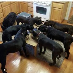 this is why i could never breed a female Corso. I would end up keeping them all. Cane Corso Italian Mastiff, Cane Corso Mastiff, Cane Corso Dog, Huge Dogs, Giant Dogs, Mastiff Breeds, Education Canine, Large Dog Breeds, Dressage
