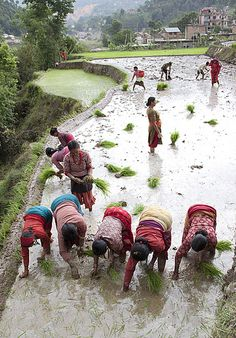 Planting Rice in Nepal