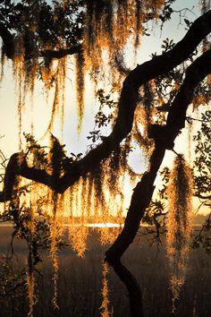 Sunset  Spanish Moss, Lowcountry, SC