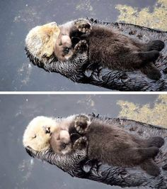 otter with baby floating
