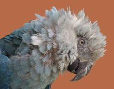 Spix's Macaw.  Declared extinct in 2004.  Cause of extinction: habitat destruction, illegal trapping and trade.