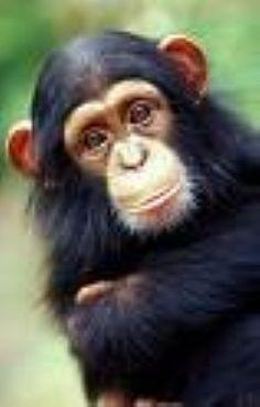 Primatas maior êxito evolutivo