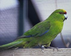 Learn about Kakariki's in this interesting factsheet by Rosemary Low. Parrot Facts, Colorful Birds, Parakeet, Beautiful Birds, Pet Birds, Fun Facts, Finches, Parrots, Interesting Facts