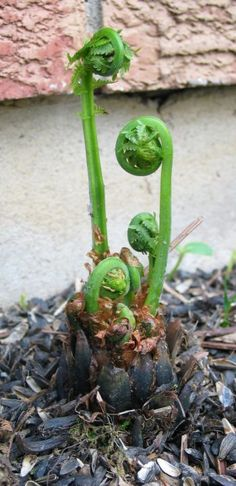Wild Edible Planrts - Fiddleheads