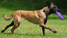 Belgian Sheepherd Dog | ... breed is mostly working dog or herding dog no dog clothes is necessary
