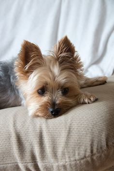 Oh My Goodness!!! I am going to get a yorkie when I move out since my parents won't let me have one... #YorkshireTerrier