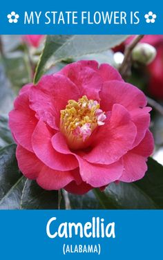 #Alabama's state flower is the Camellia. What's your state flower? http://pinterest.com/hometalk/hometalk-state-flowers/