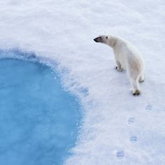#PolarBear on Thin #Ice by Christopher Michel. Why #1.5degrees : For highly #temperature sensitive systems, such as the #polar regions, high mountains and the tropic, and low-lying coastal regions via New Republic #CVFFacts