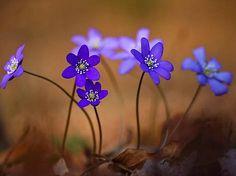 Das Leberblümchen ist Blume des Jahres 2013. The flower of the year 2013