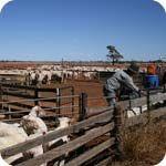 Shearing time.