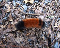 Wooly bear caterpillar making its way ~ photographer foxvox  #autumn