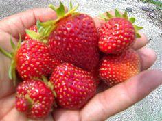 Strawberries, via Flickr.