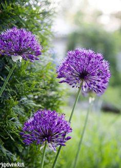 Perennat – 5 ihanaa vaihtoehtoa puutarhaan | Kotivinkki Text: Henrika Arle Pic: Hanna Marttinen #flower #purplesensation #garden